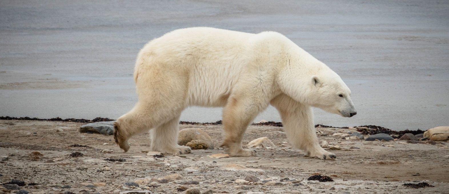 Eisbären Churchill Manitoba