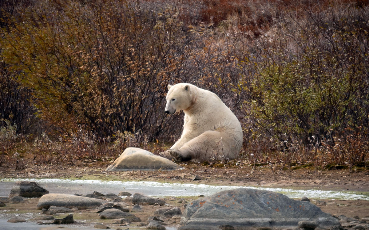 churchill-manitoba-eisbaer