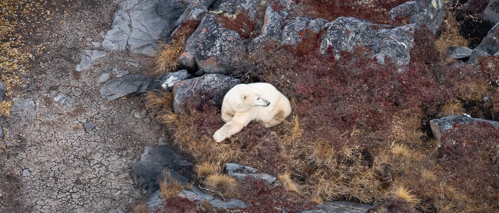Eisbär spotten Helikopterflug