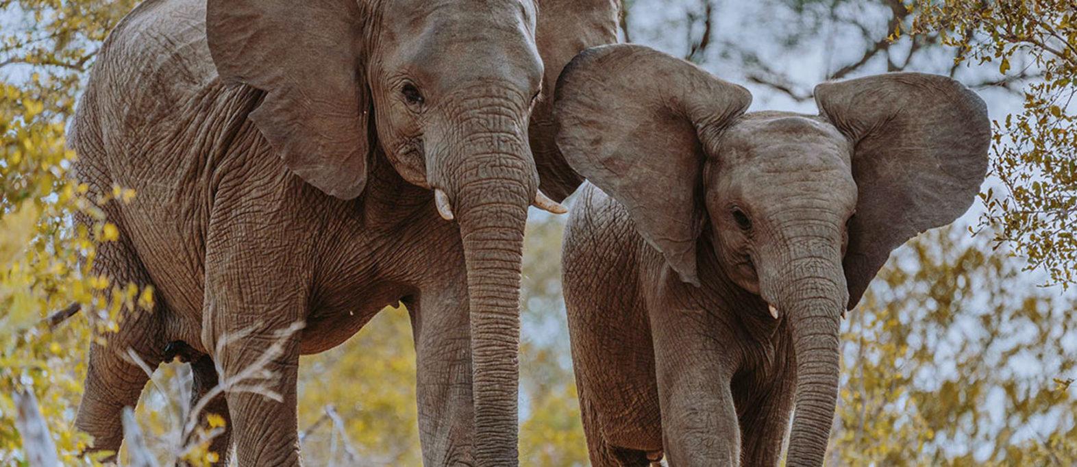 Elefanten im Krüger Nationalpark (Klaserie)