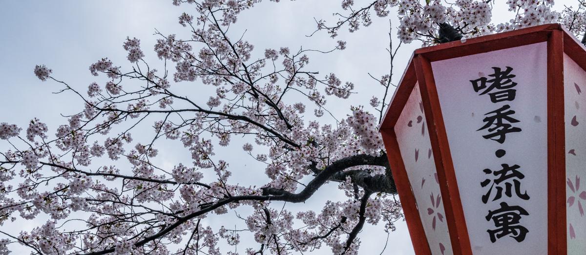 Kirschblüte in Kanazawa