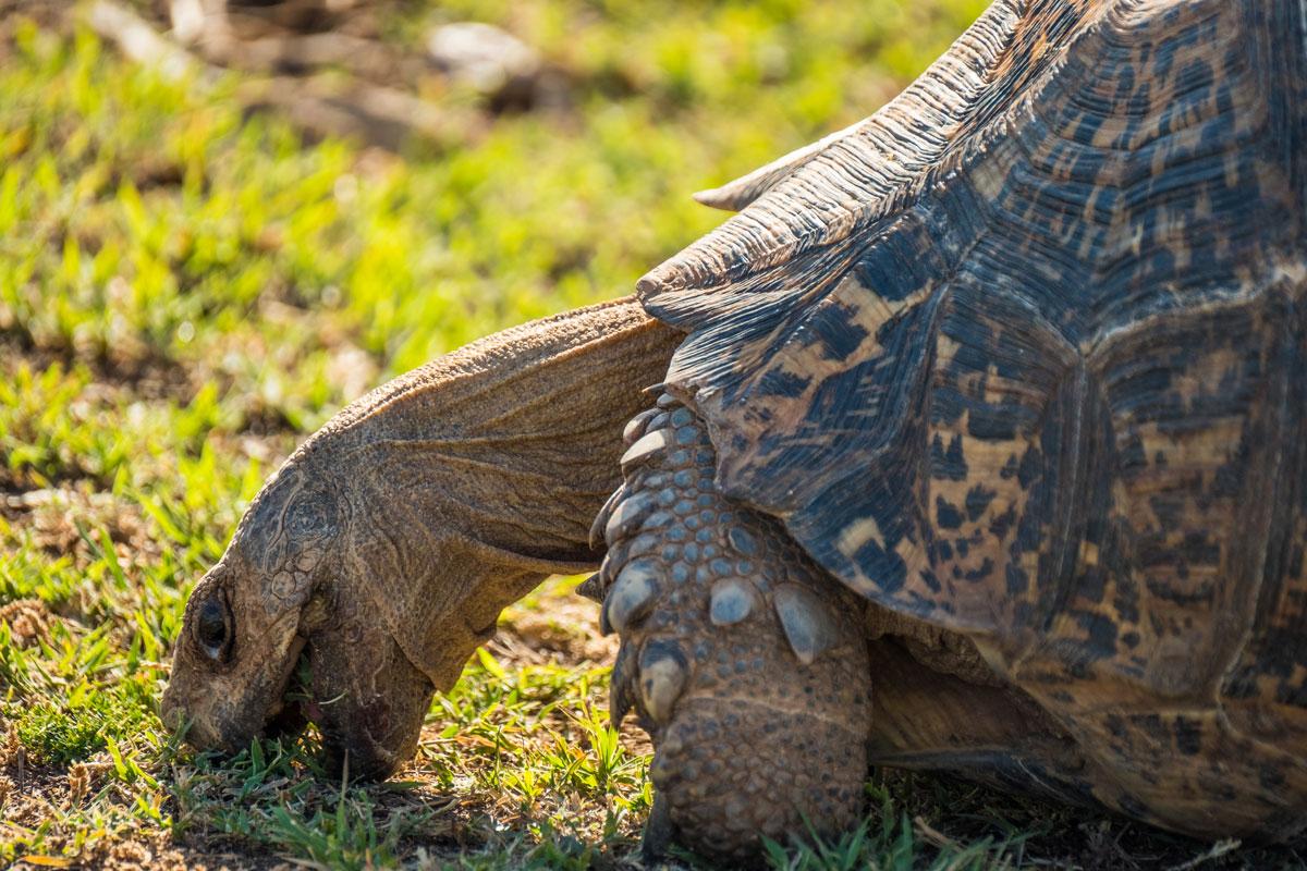 Leopard Tortoise Addo