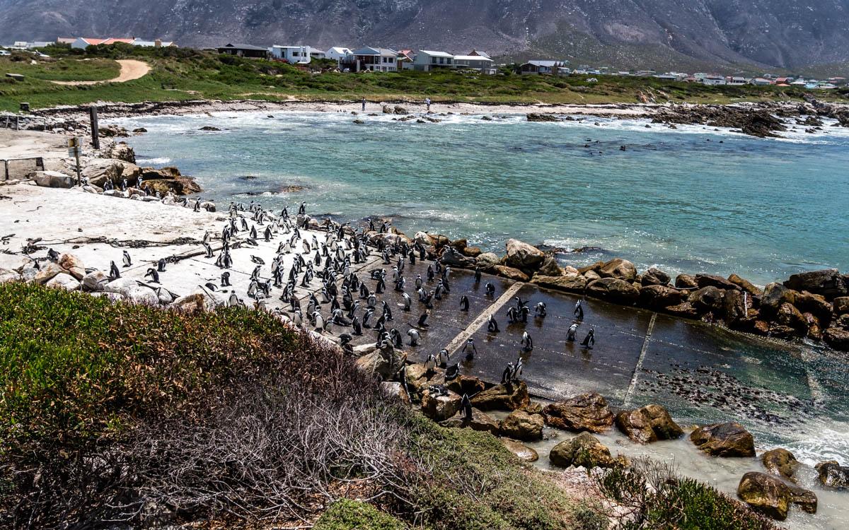 pinguine-bettys-bay-garden-route