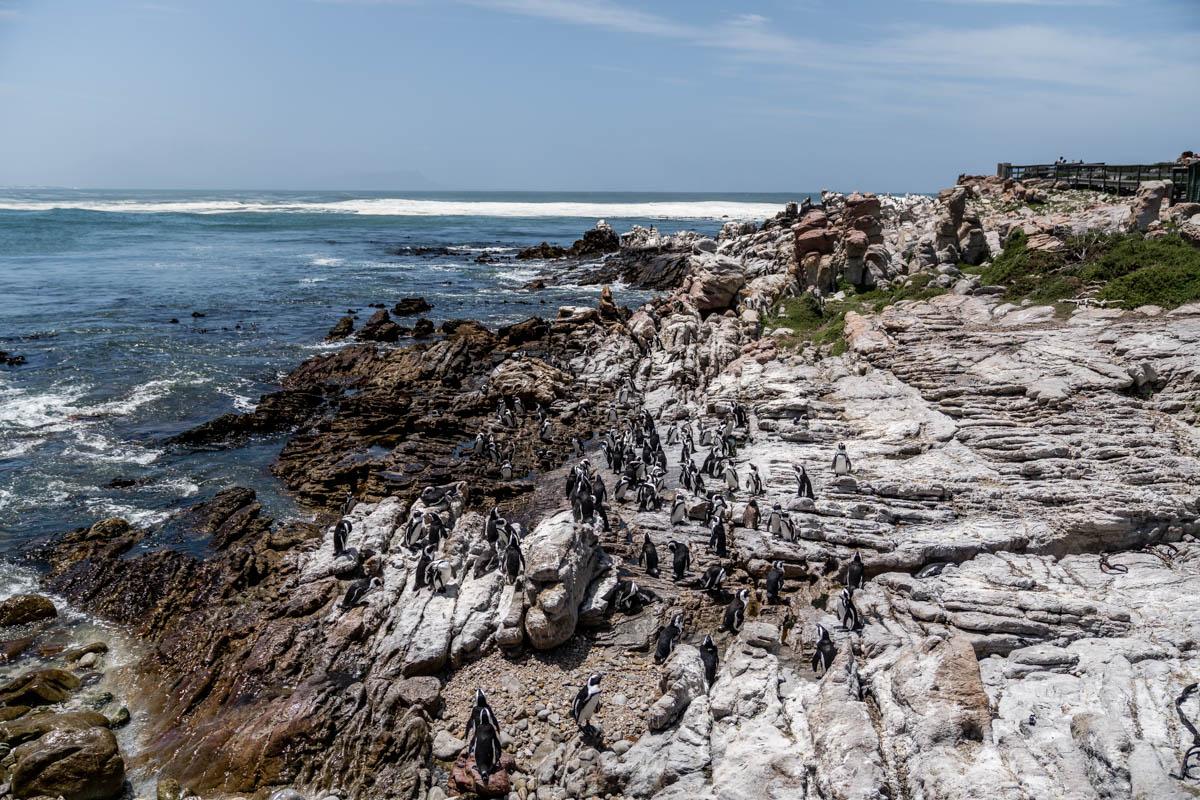 pinguine-bettys-bay-stony-point-garden-route