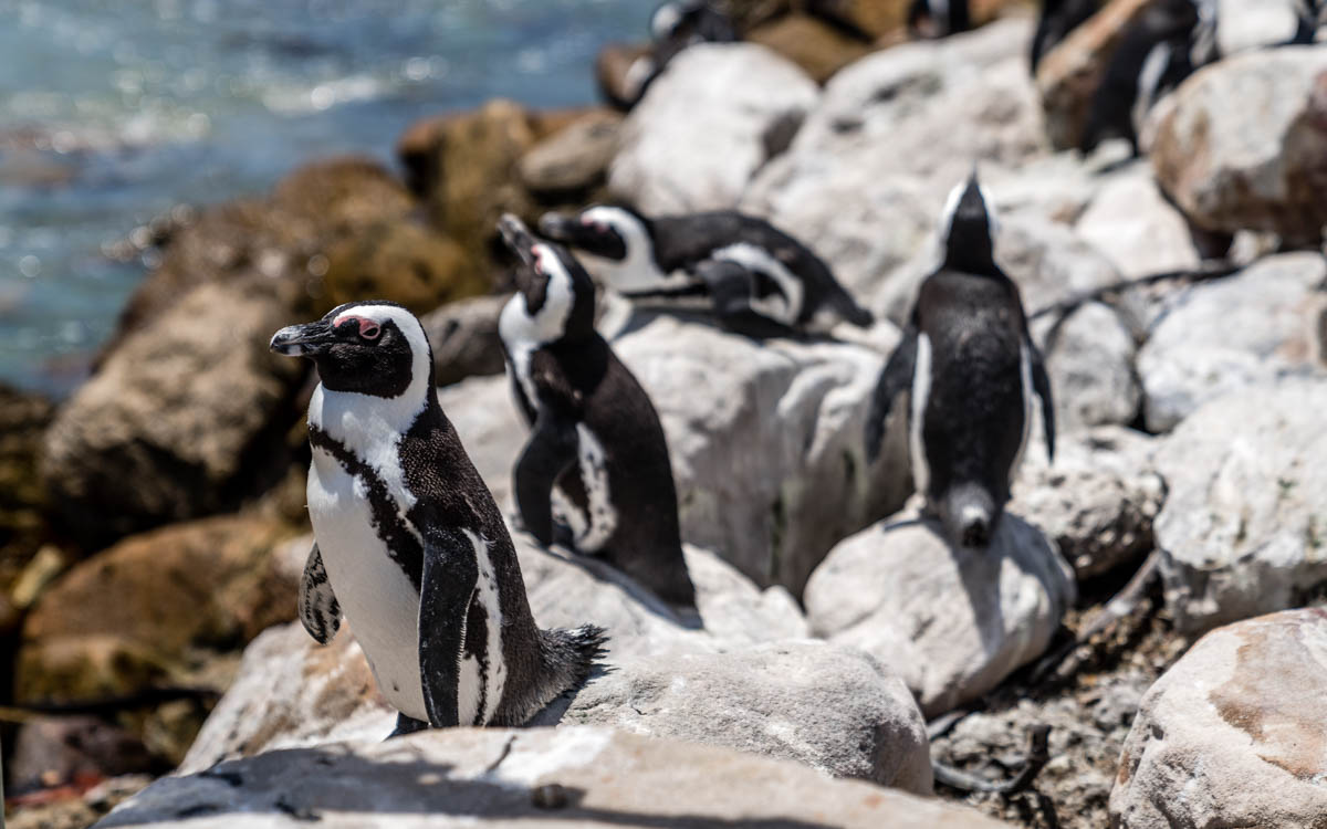 pinguine-bettys-bay-suedafrika