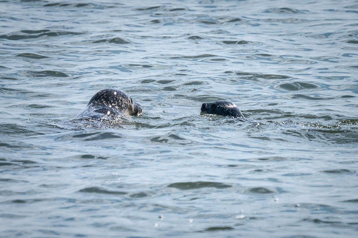 Seehunde Wattenmeer Sylt