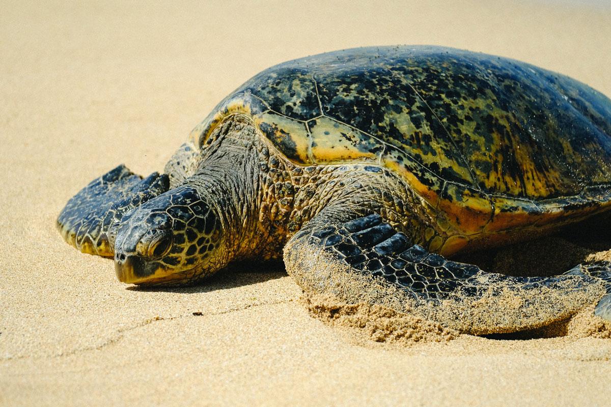 honu-sea-turtle-maui