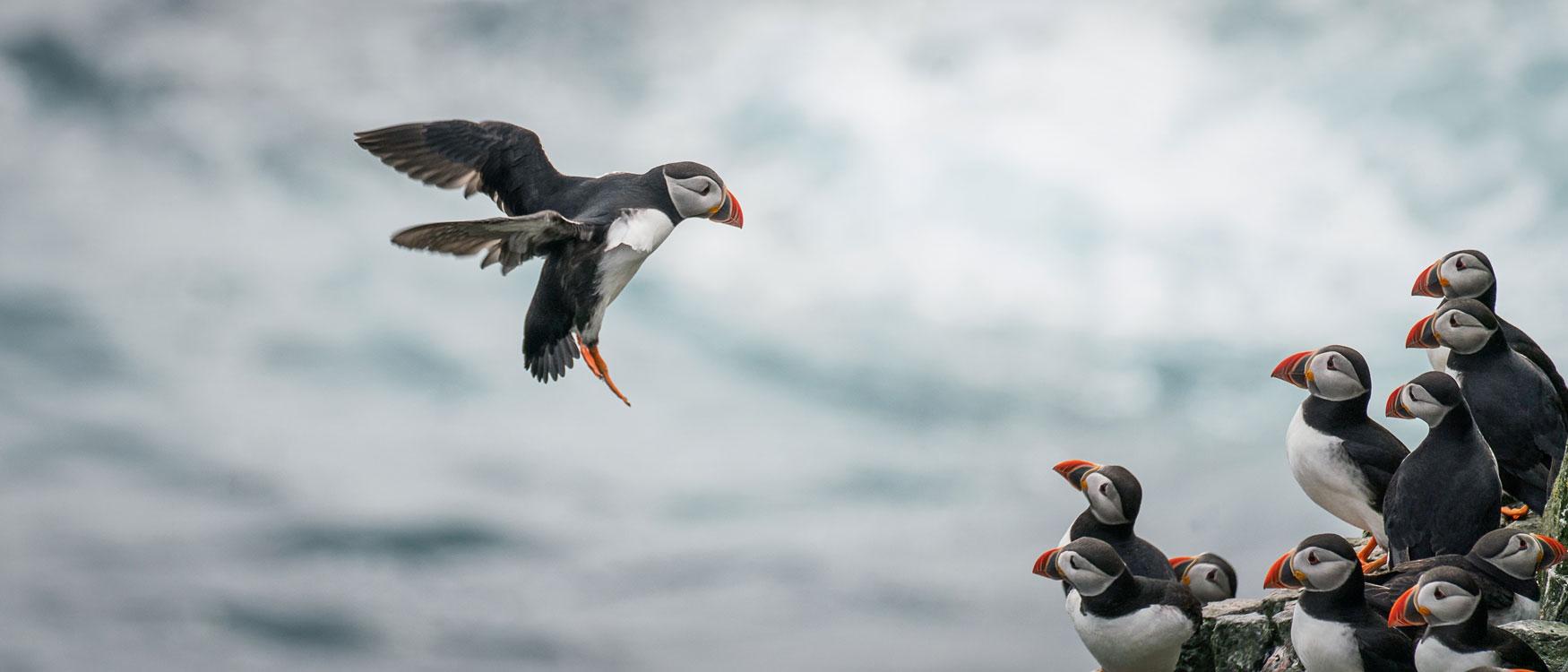 Mykines Papageitaucher besuchen Highlight Färöer Inseln