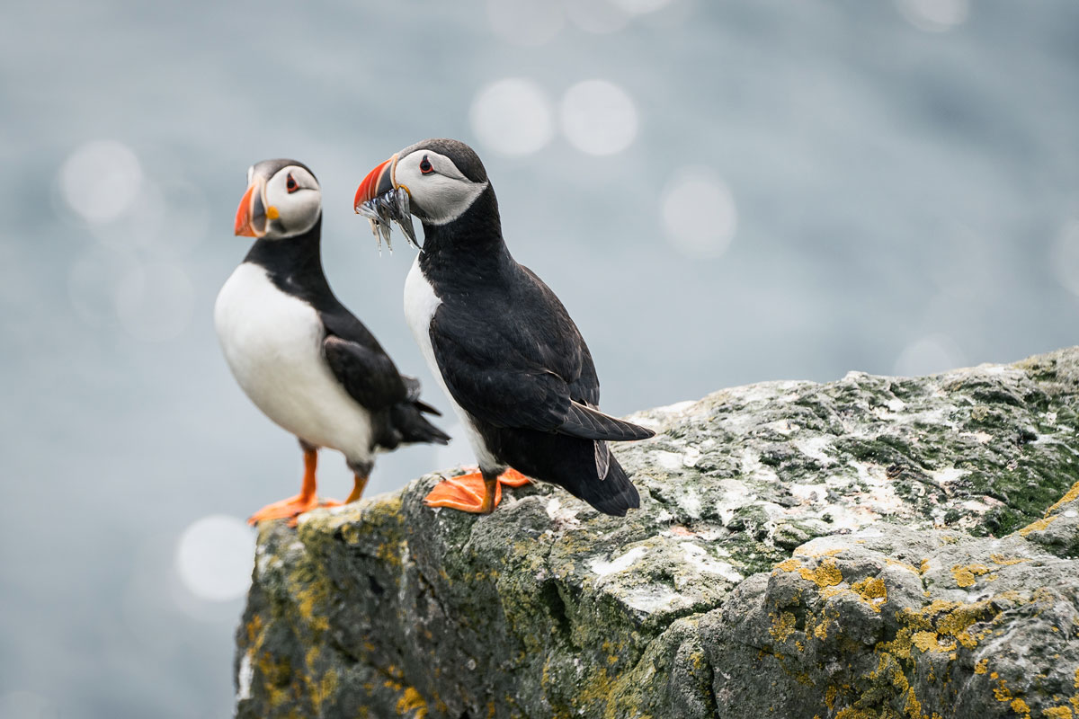 puffins-telezoon-sony-100-400