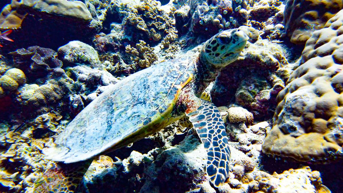 malediven-urlaub-schildkröte