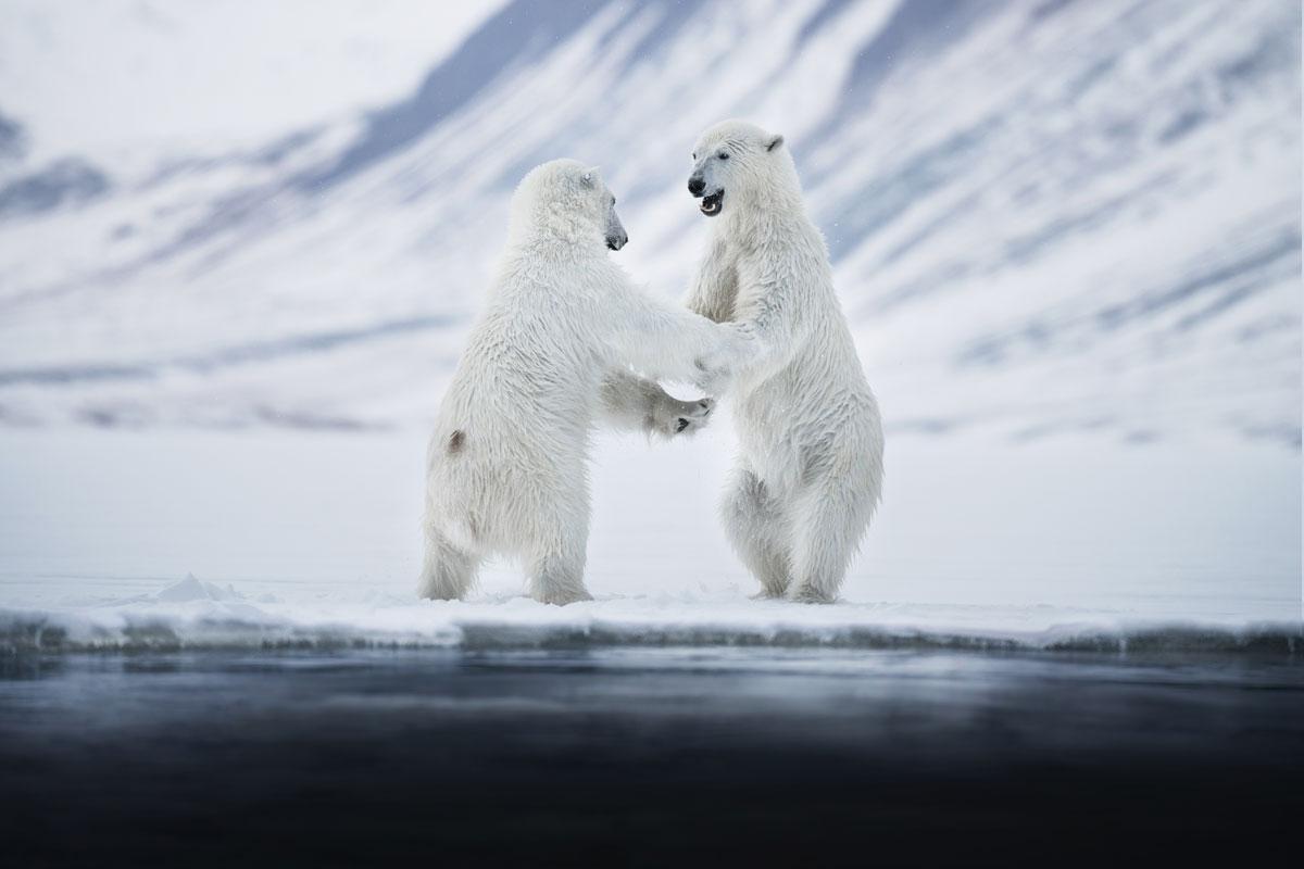 Eisbären Spitzbergen