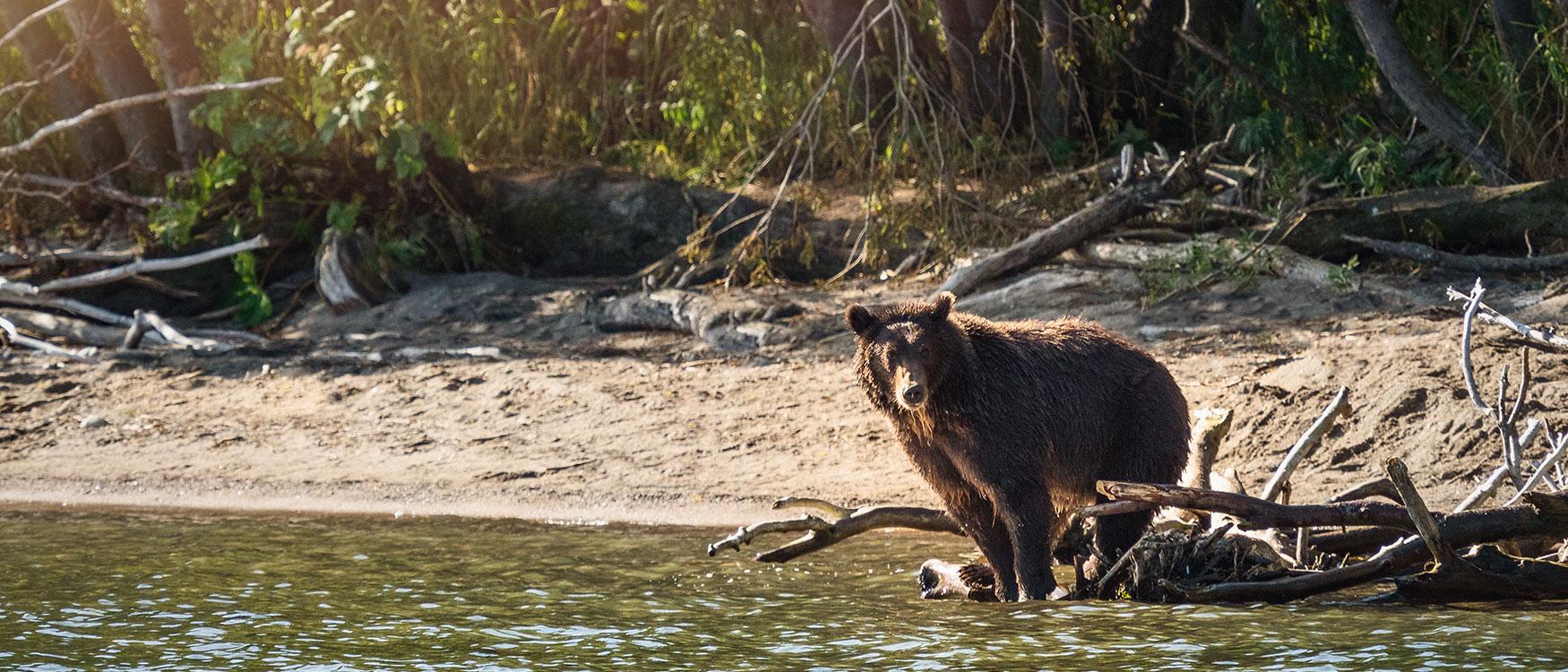 Braunbären Kurilensee Kamtschatka