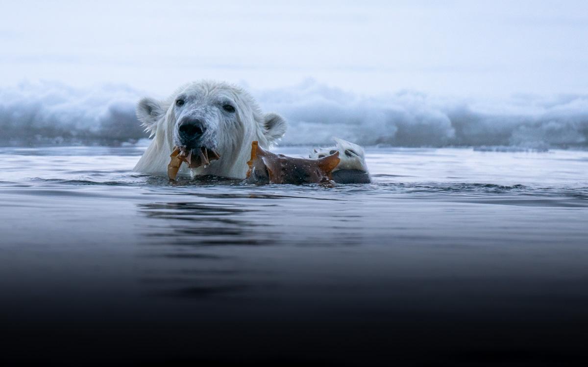 spitzbergen-eisbaer-wasser