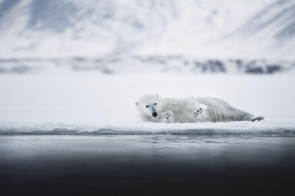 spitzbergen-eisbaer