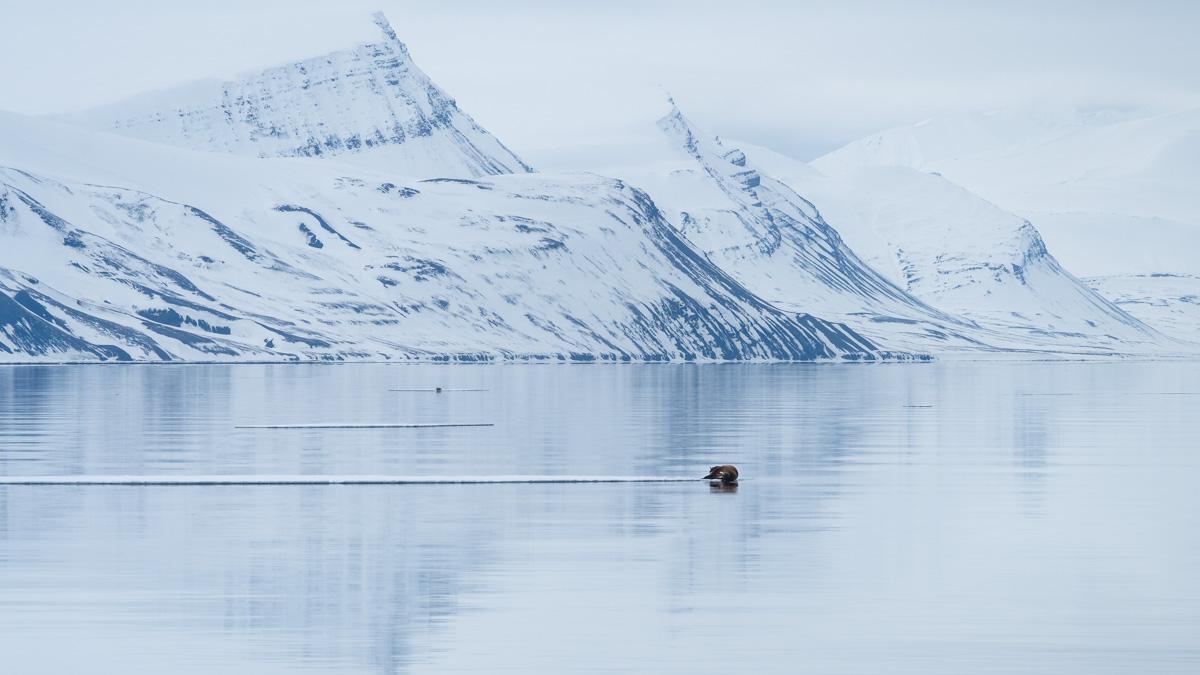 Walross Svalbard