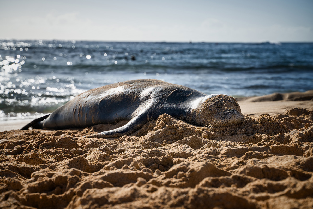 Monk Seal Kauai