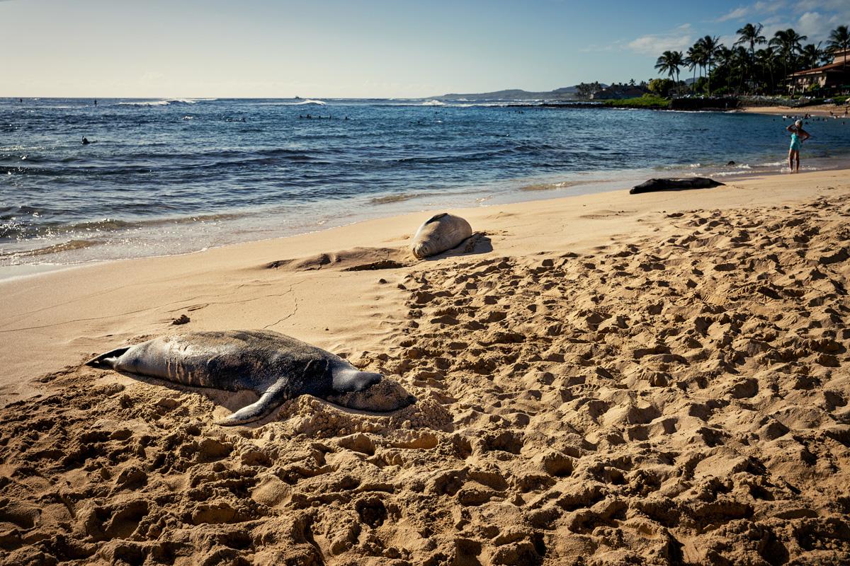 Mönchsrobben Kauai