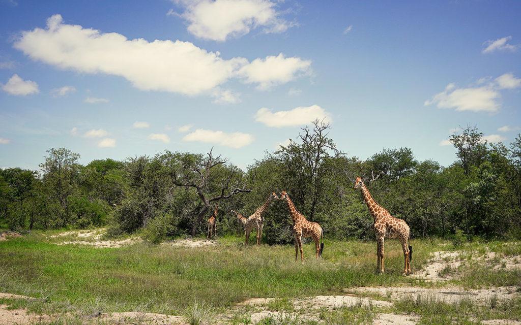 Giraffen Südafrika Game Drive