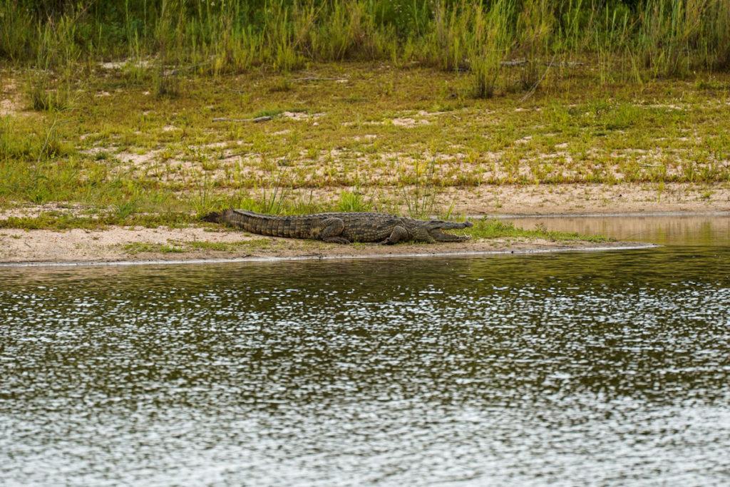 Krokodil Südafrika