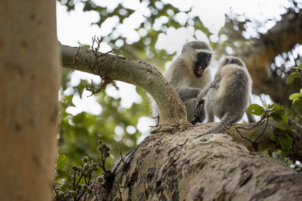 Südliche Grünmeerkatze (Vervet Monkey)