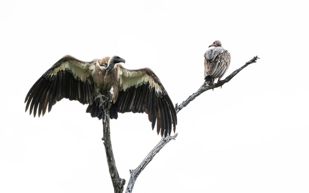 White Backed Vulture - Geier
