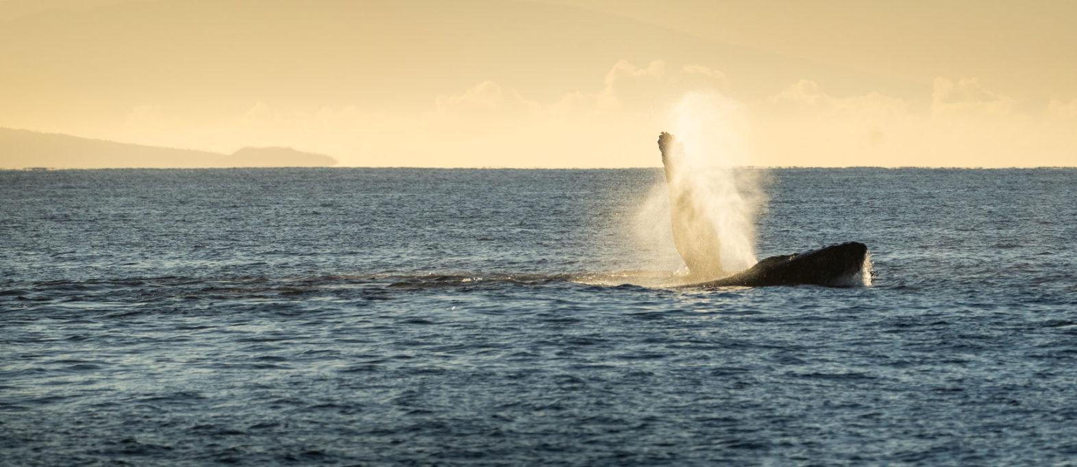 Buckelwale Maui
