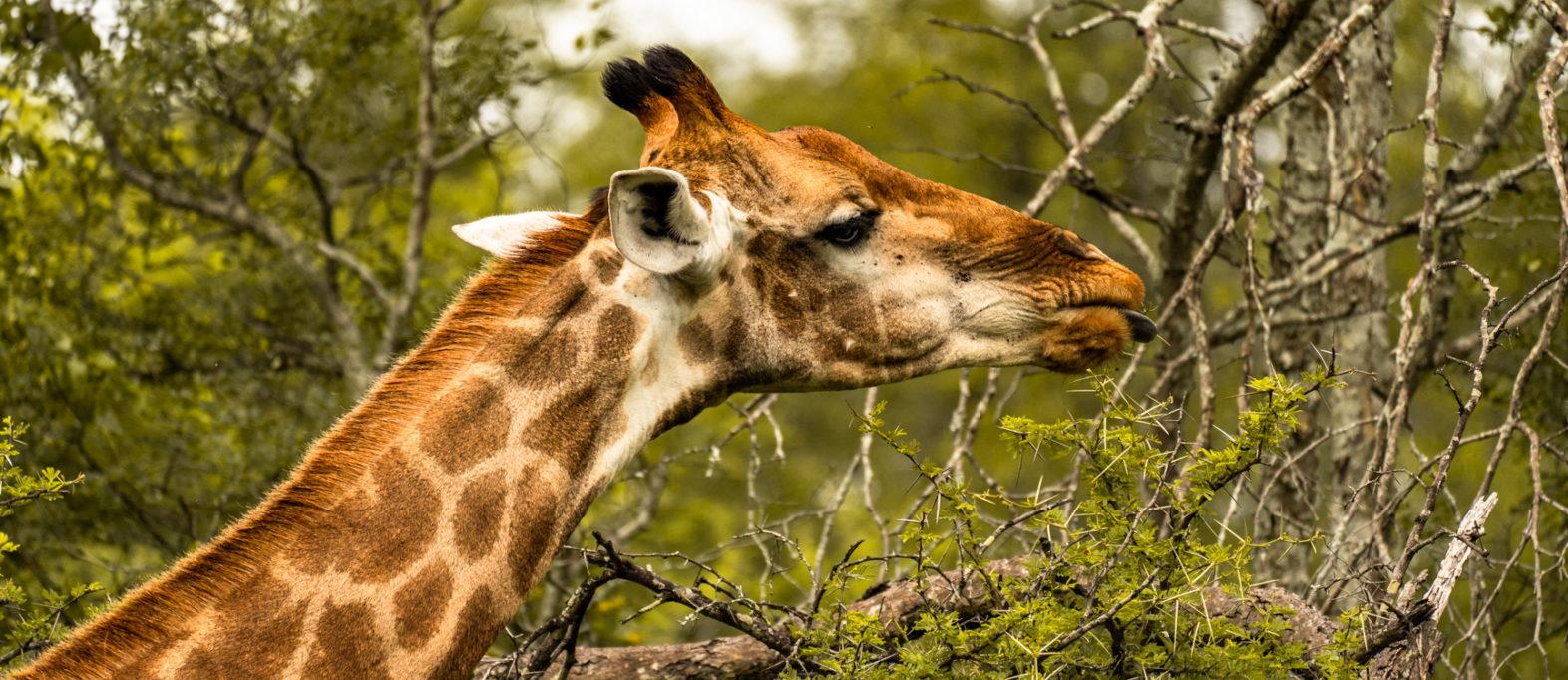 Nationalparks Südafrika Giraffe