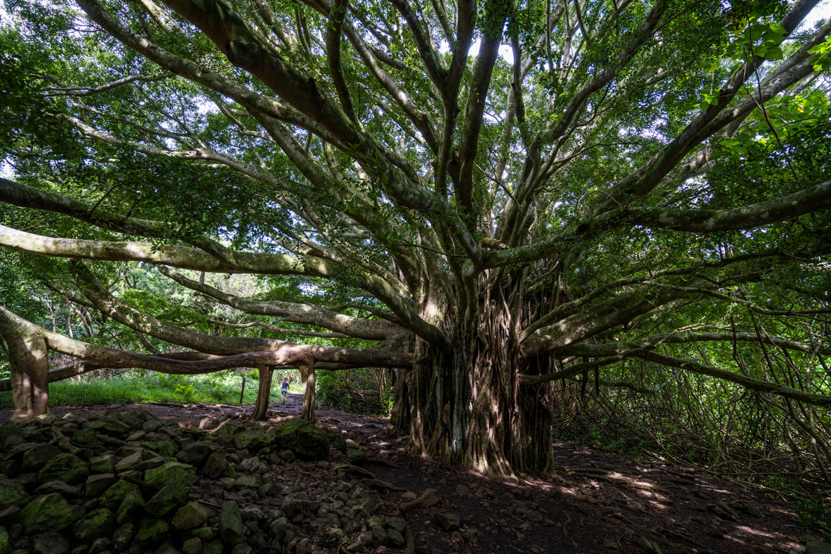 Baum Pipiwai Trail Maui
