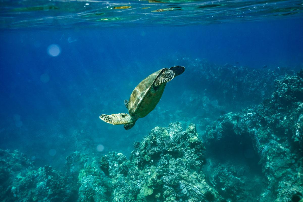 Schildkröte am Maluaka Beach – besser bekannt als Turtle Town auf Maui.