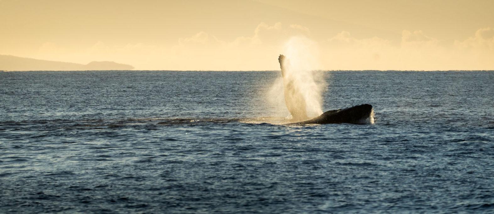 Beste Reisezeit Hawaii Wale