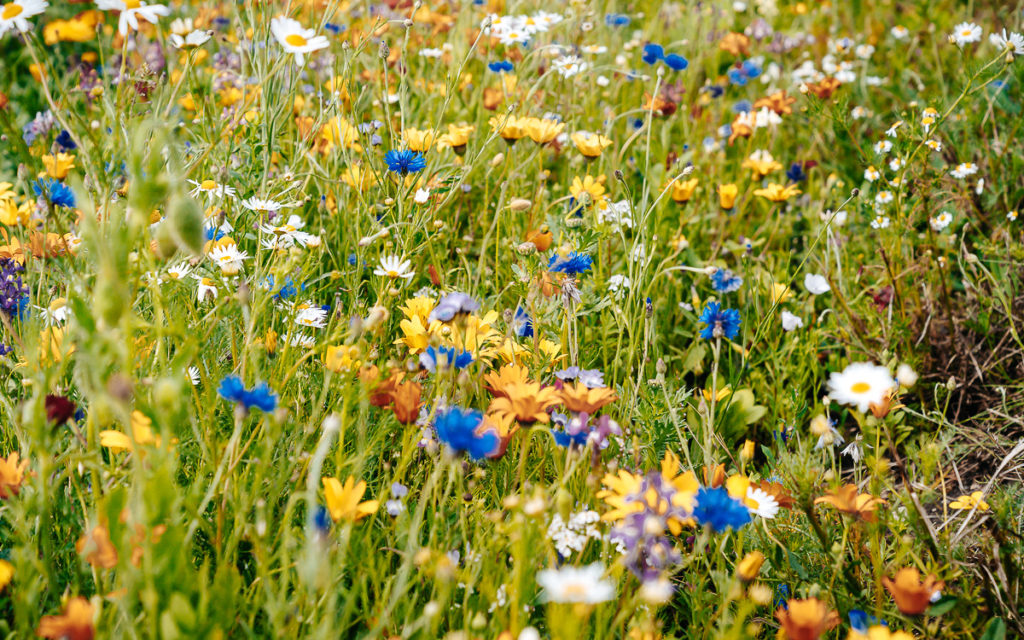 Blumenfelder Insel Fehmarn