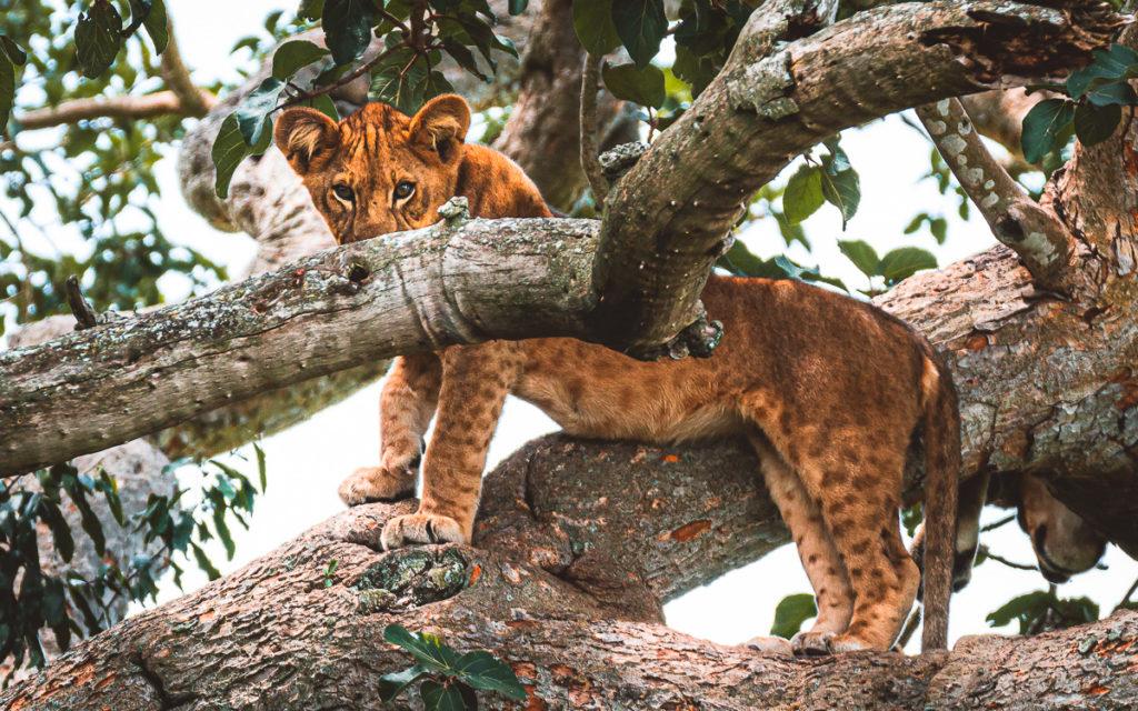 Baumlöwen Ishasha Sektor Queen Elizabeth Nationalpark Uganda