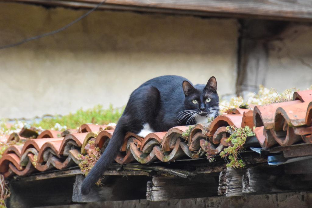 Eine besonders seltene Dachkatze