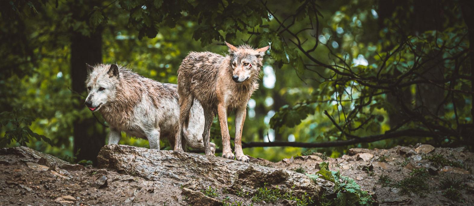 Taubertal Highlight Wolfsrufel Wildpark Bad Mergentheim