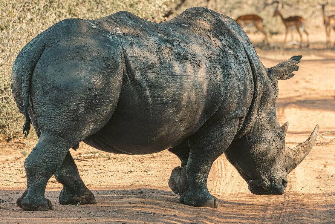 Nashorn Sehenswürdigkeiten Südafrika